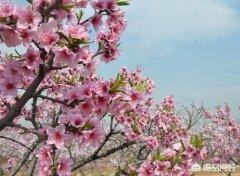 梅林公园:深圳现在哪个地方能赏桃花?