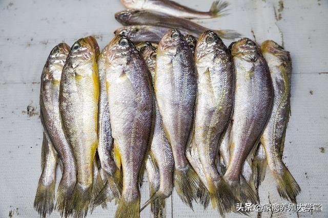 小黄鱼100元/斤,而且技术难题被攻克,我们可以养殖吗?