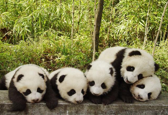 在成都,除了熊猫基地还有哪些地方可以看见大熊猫?